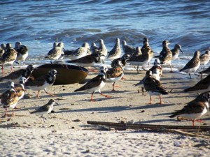 red knots and shore birds at Money Island