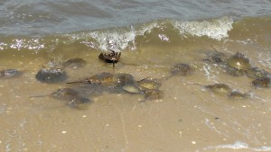 horseshoe crabs in surf
