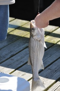 small striper released at Money Island